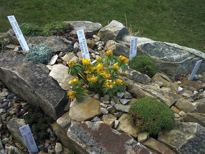 Jarní výstava skalniček: Žlutě kvetoucí pryskyřník (Eranthis) Foto: e-Newspeak