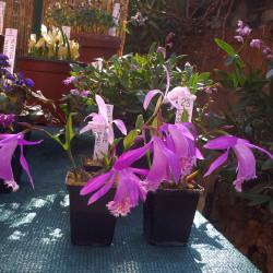Skalničky_venkovní orchideje
