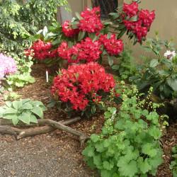 Nepřehlédnutelný rododendron