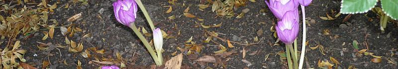 Podzimní výstava skalniček: stylové Colchicum Speciosum Foto: e-Newspeak