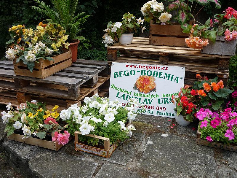Podzimní výstava skalniček: expozice begonií firmy Bego-Bohemia Foto: e-Newspeak