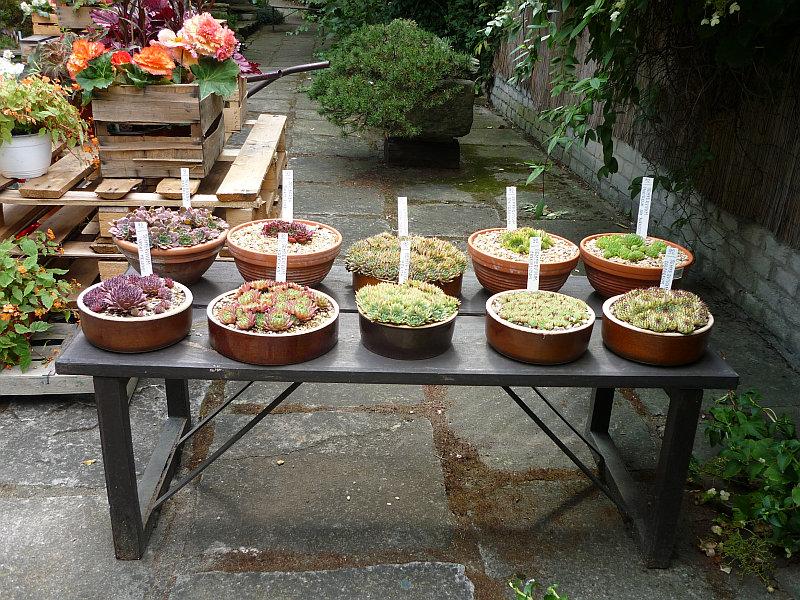 Podzimní výstava skalniček: výstavka netřesků v miskách Foto: e-Newspeak