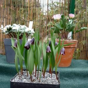 Skalničky_Fritillaria armena