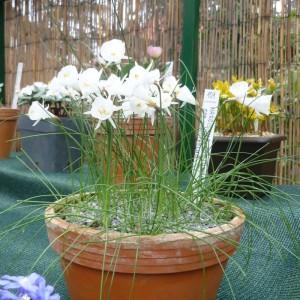 Skalničky_narcisky_Narcissus cantabricus subsp. monophyllus