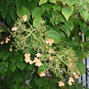 Skalničky_Akébie květy