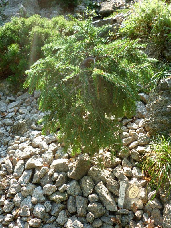 Skalničky: smrček - Picea Abies 'Formánek' Foto: e-Newspeak