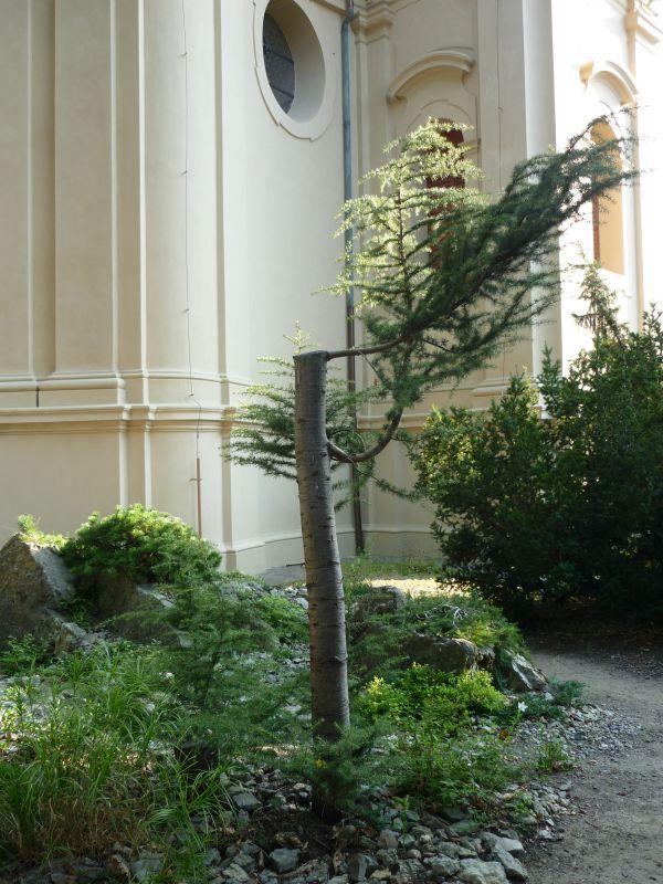 Skalničky: cedr Foto: e-Newspeak