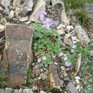 Skalničky_Fritillaria Pinardii
