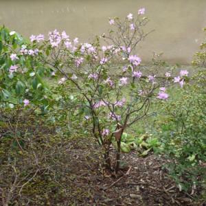 Skalničky_magnolie