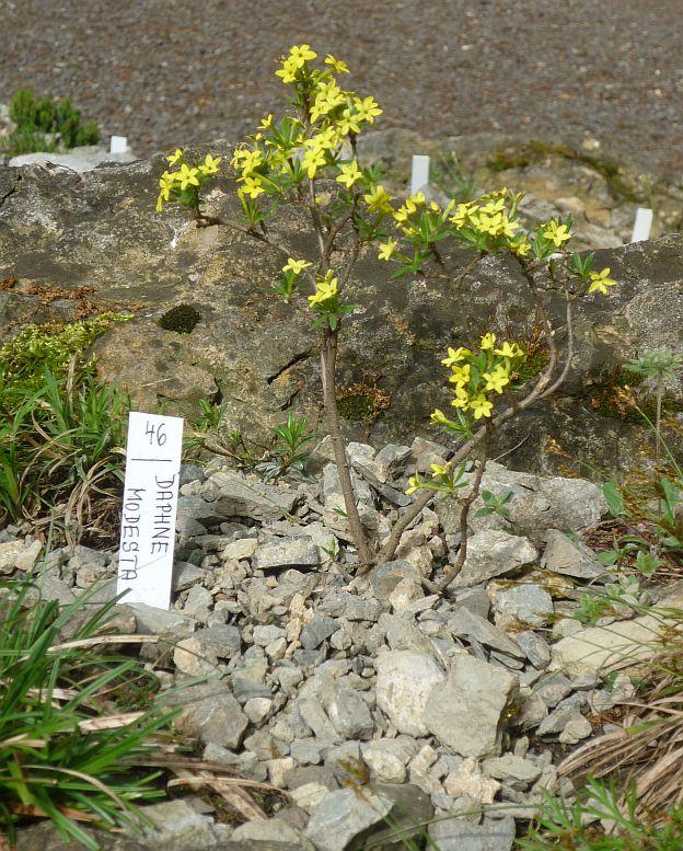Májová výstava skalniček: lýkovec Foto: e-Newspeak