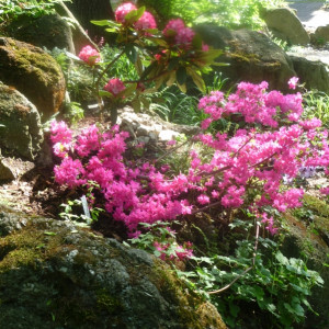 azalka a rododendron