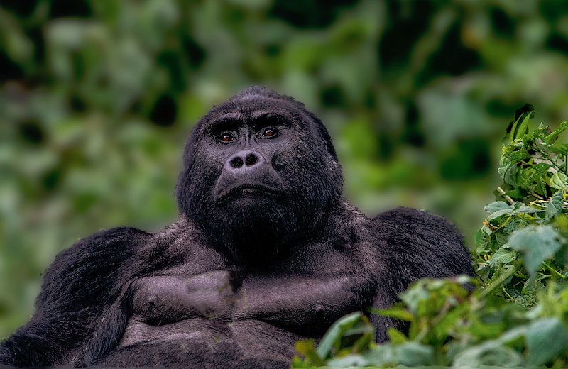 Horská gorila Foto: Go za Gorilou!, oficiální zdroj