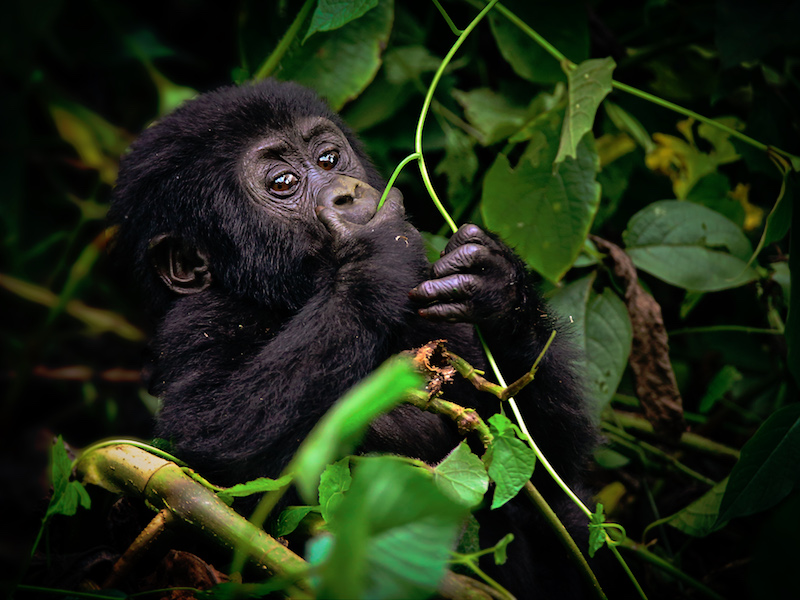 Mládě horské gorily Foto: Go za Gorilou!, oficiální zdroj