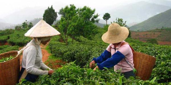 Sklizeň čaje Tea Tang Foto: Čajová zahrada, oficiální zdroj